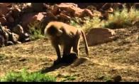 Šungaudės šunbeždžionės
