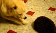 Šuo sutinka ežiuką
