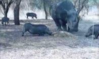 Skraidanti kiaulė