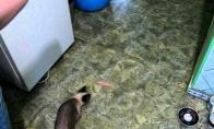 Katė voras