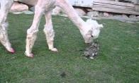 Alpaka sutinka katuką