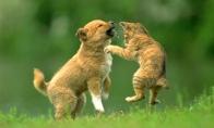 Peštynės! Pitbulis prieš kačiuką