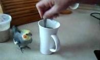 Kavinis paukštukas