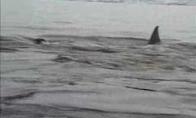 Pingvinuko pabėgimas nuo orkų