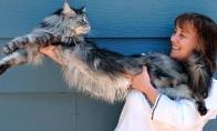 Katės rekordininkės: ilgiausia ir trumpiausia
