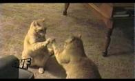 Katė prieš veidrodį
