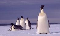 Vagis pingvinas