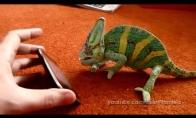 Chameleono aifonas