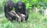 Beždžionių sinchronas