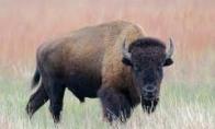 Niekšas bizonas
