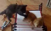 Kačių imtynės