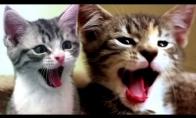 Žiovautojos katės