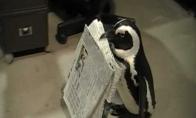 Laikraščio pristatytojas pingvinas
