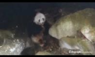 Mėsėdė panda