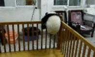 Pabėgėlė panda