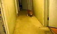 Persijos princo katinas