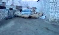 Avių skydas