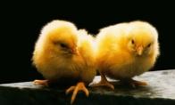Kamufliažinis viščiukas