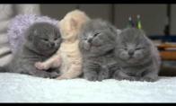 Britų kačiukai