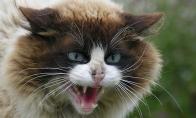 Kalbanti katė