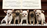 Pianistas šuo
