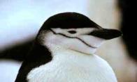 Piktas pingvinukas