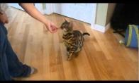 Išdresuotas katinas