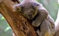 Pavargusi koala