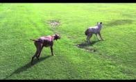 Šuo prieš vilką