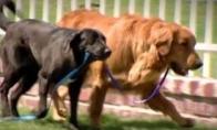 Aklojo šuns vedlys šuo