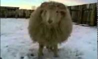 Kovinė avis