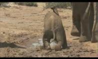 Mokosi būti drambliu
