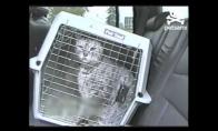 Kalbanti katė nenori pas veterinarą