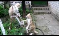 Dviejų katinų dvikova