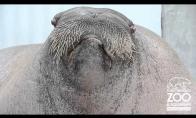 Pilvakalbis jūrų liūtas