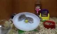 Du nenuobodžiaujantys žiurkėnai