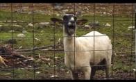 Avis prabilo moters balsu