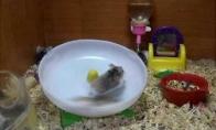 Debilavoti žiurkėnai