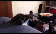 Užsispyręs katinas