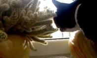 Katė valgo kaktusą