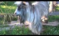 Beatboxinantis ožys