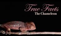 Tikri ir juokingi faktai apie chameleoną
