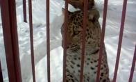 Niekada nesiartinkit prie leopardo