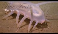 Tikri faktai apie jūros kiaulę