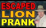 Pabėgęs zoologijos sodo liūtas
