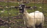 Adele ft. Goat - Skyfaaaaaaaall