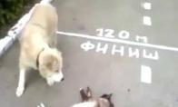 Šuo surinko drakono rutulius ir prikėlė katiną