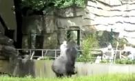 Gorila prie bajerio