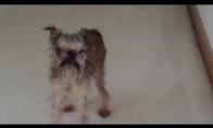 Kalbantis šuo ginčijasi su šeimininku