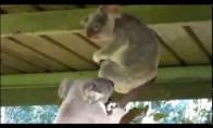 Kovų koalas